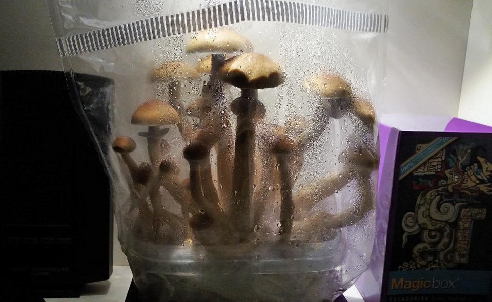 Magic Mushroom Growkit: Step By Step   Sirius nl